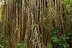 Curtain Fig - Australia L109 (sizes: 400x600; 600x900; 900x1350mm)