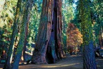 Sequoia forest - USA L411 (sizes: 400x600; 600x900; 900x1350mm)