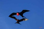 Frigate birds - Ecuador L440 (sizes: 400x600; 600x900; 900x1350mm)