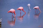 Flamingos - Ecuador L442 (sizes: 400x600; 600x900; 900x1350mm)