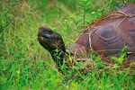Giant tortoise - Ecuador L443 (sizes: 400x600; 600x900; 900x1350mm)