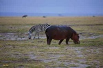 Grazing - Kenya L562 (sizes: 400x600; 600x900; 900x1350mm)