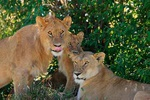 Lions' den - Kenya L570 (sizes: 400x600; 600x900; 900x1350mm)